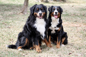 Bernese Mountain Dog Couple