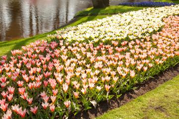 tulips near water