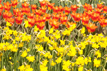 tulips and naricissus
