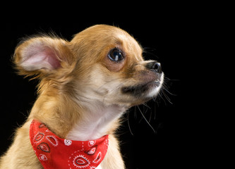 cute chihuahua puppy with red bandana portrait