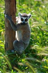 Lemur Monkey Animal Cute Fur Ape sweet