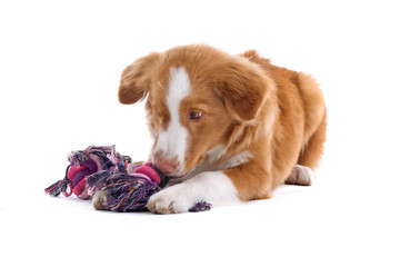 Nova Scotia Duck Tolling Retriever playing with a rope