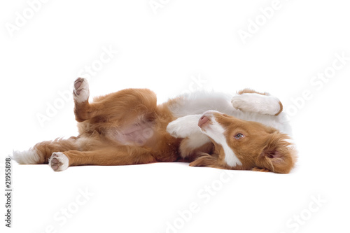 Nova Scotia Duck Tolling Retriever playing