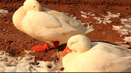 Sleeping white ducks on a sunny, cold winter day.