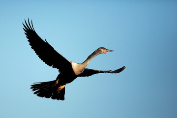 Female Anhinga In Flight