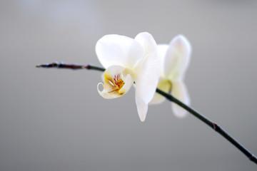Orchidee doppelbluete
