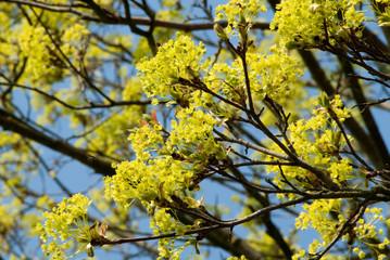 Blühender Ahorn im Frühling