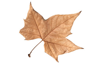 Dried leaf of maple