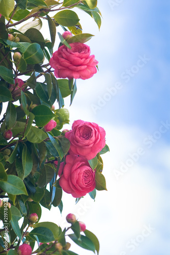 camellias and sky