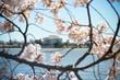 Jefferson Memorial through Cherry Blossoms