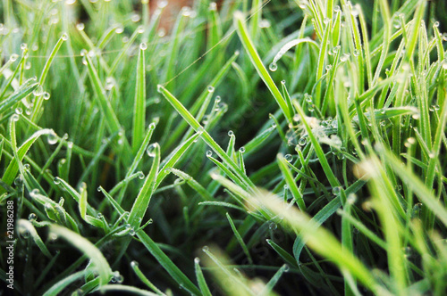Green a grass with dew