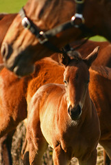 Bay Thoroughbred Foal