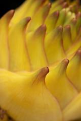 Lotus-Bananenblüte