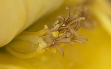 Lotus-Bananenblüte macro