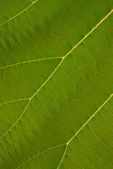 Texture of teak  leaf