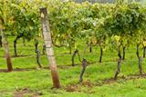 Řádky podporovaných a vyškolených vinné révy, Tasmánie, Austrálie