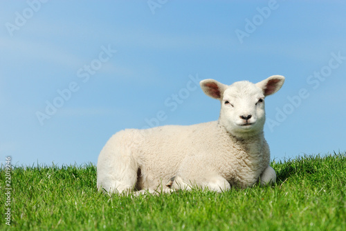 Cute lamb in spring