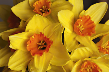 close up of yellow narcissus
