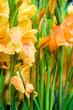 Gladiolen, Schnittblumen, Blumenmarkt