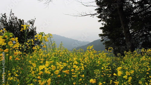 rape field on  top of mountain