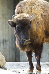 Head on American Bison