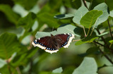 Nymphalis antiopa, Vanessa, Mourning Cloak, Camberwell Beauty, M poster