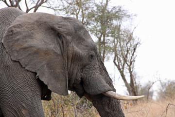 Profile of Elephant