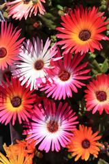 iceplant, Delosperma cooperi, pink carpet,