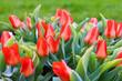 Wiese mit roten Tulpen