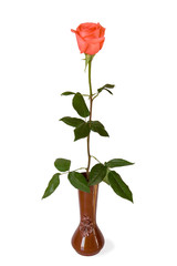 The rose in a vase