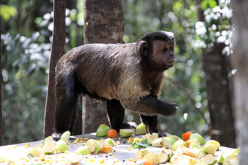Tufted  capuchin eating fruit