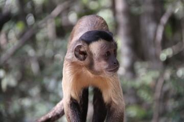 Baby Tufted capuchin