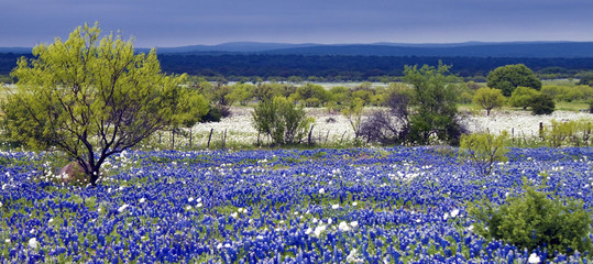 Field of Bluebonnets as a storm rolls in over the distant hills.