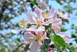 Albero da frutta in fiore