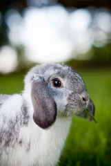 Long-eared rabbit portrait with thought bubbles