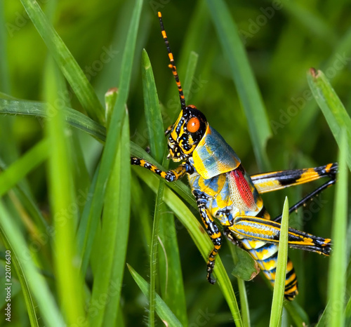 Macro of a bright coloured grasshopper sitting on grass