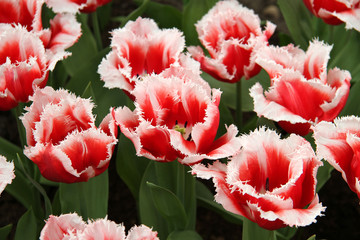 red and white fancy tulips
