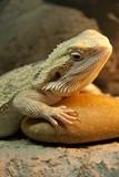 Bearded Dragon reptile poster