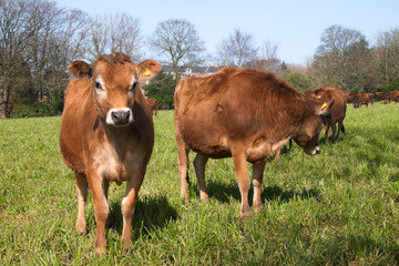 Jersey cows on a green grass