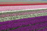 Tulips in purple pink and white in the Netherlands