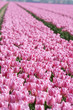 Pink tulips in a dutch tulipfield