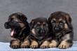 Продаются щенки немецкой овчарки, чепрачного окраса, мальчики и девочка...