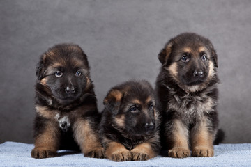 Puppy of German Shepherd dog