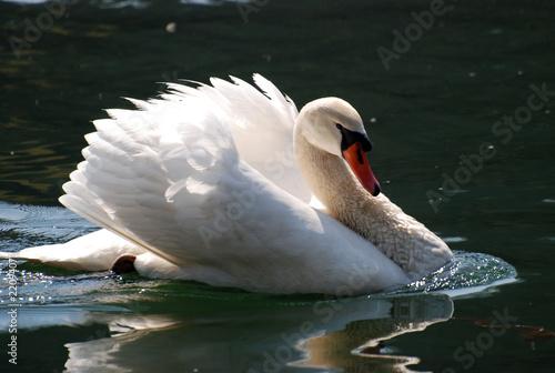 Fototapeten,schwäne,lakeside,weiß,teich