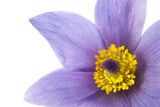 Close-up of pasqueflower, isolated on white