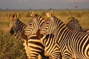 Zebras Afrika Kenia