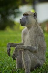 Affe Afrika Kenia