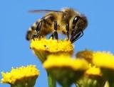 honeybee pollinated of yellow flower poster