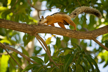 Variegated squirrel (Sciurus variegatoides) on a branch.