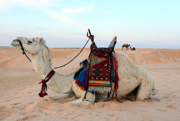 Saddled bedouin camel sitting down in desert